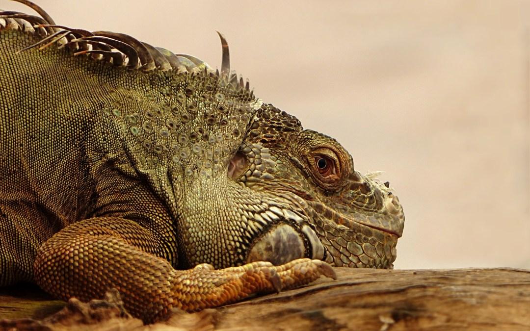 Síntomas de una Iguana Enferma