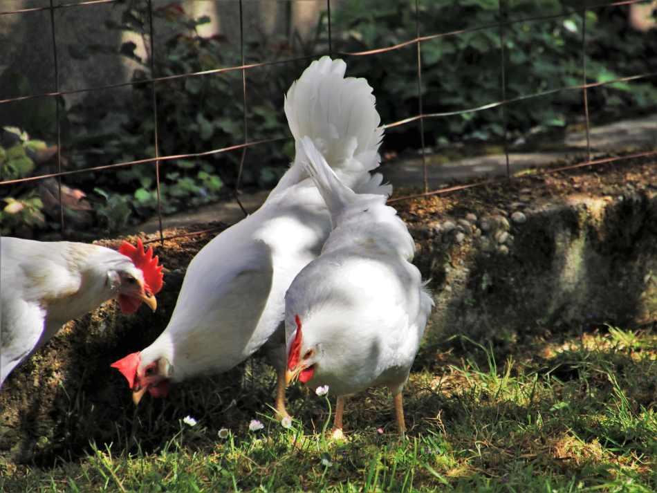 comida para gallinas