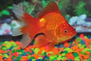 dónde vive el pez dorado