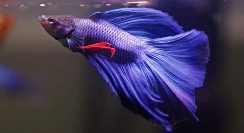 enfermedades del pez betta