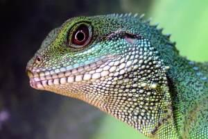 Iguana cresta de Fiji