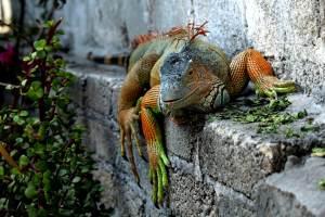 las iguanas cambian de color