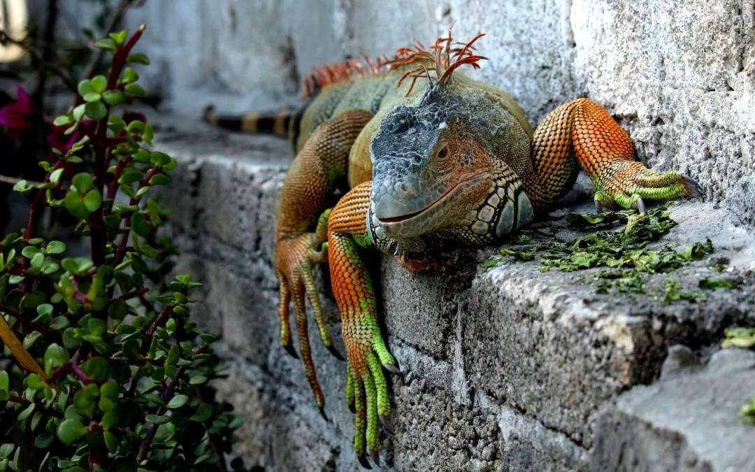 El color de la iguanas