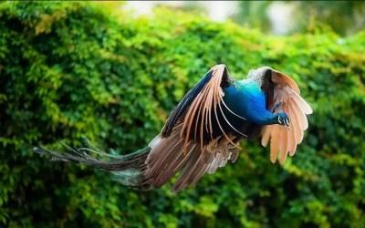 los pavos reales vuelan