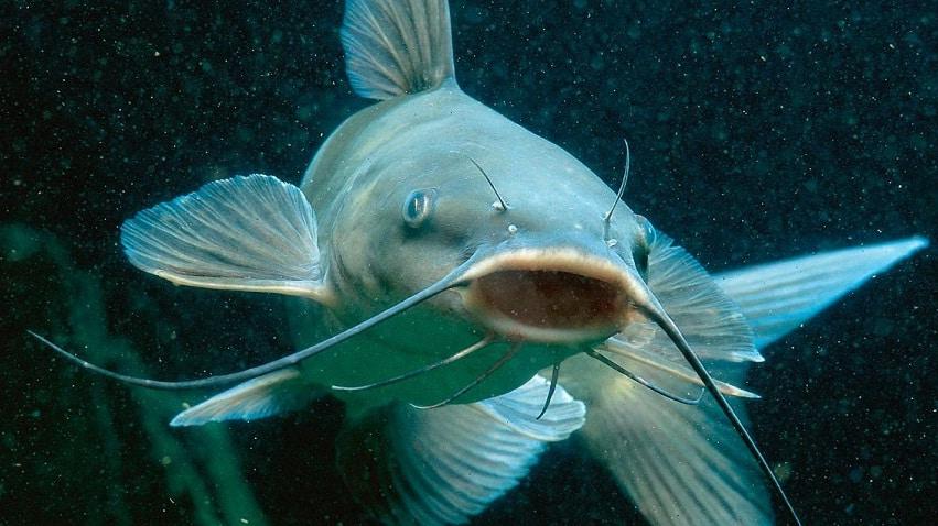 qué come el pez gato