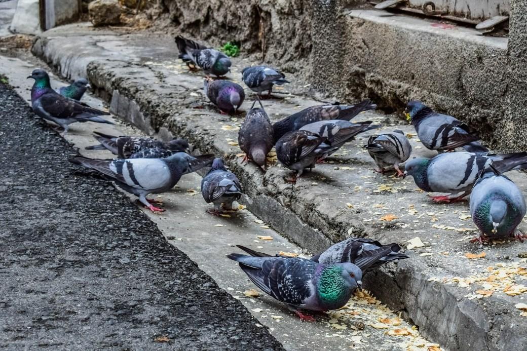 qué comen las palomas