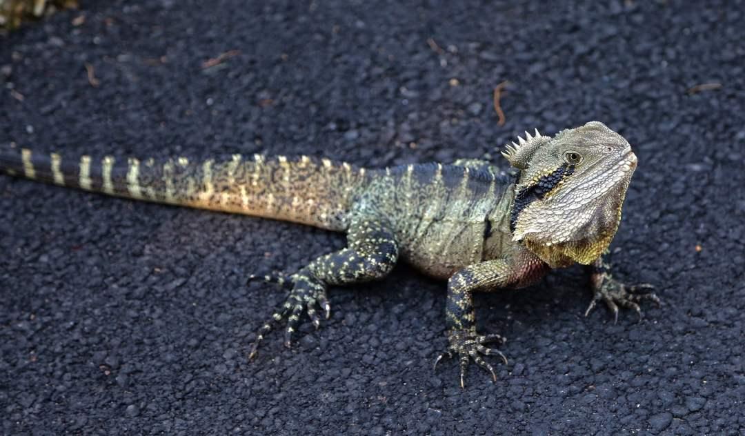 qué hacer si mi iguana pierde la cola
