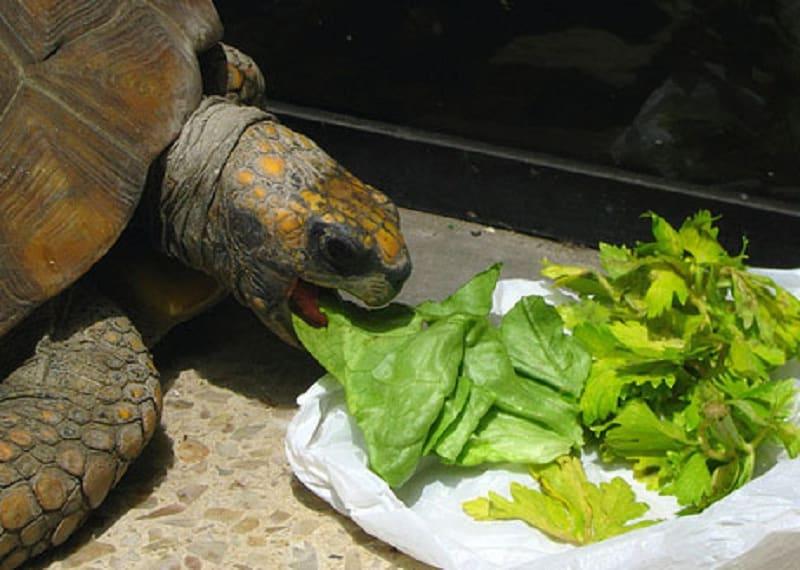 Las tortugas pueden comer repollo
