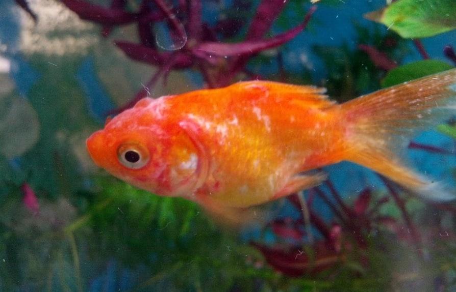 mi pez tiene manchas rojas