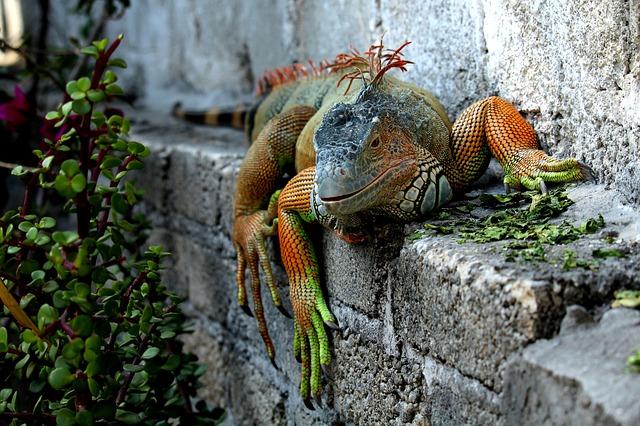 Curiosidades de las iguanas