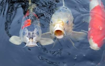 pez koi cuidados