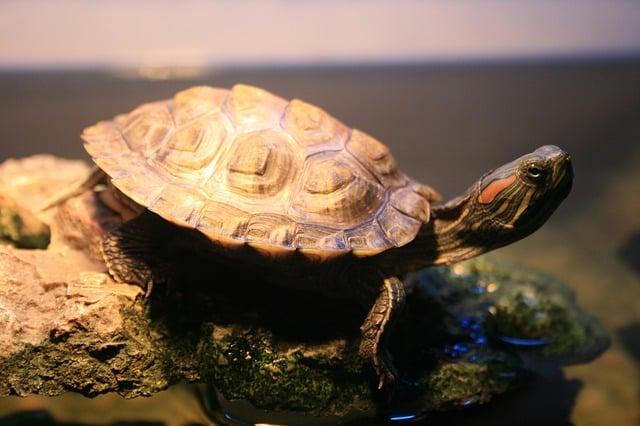 Elección de una especie de tortuga