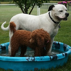 Bulldog and golden doodle playing in a pool while boarding with Sharon Toews