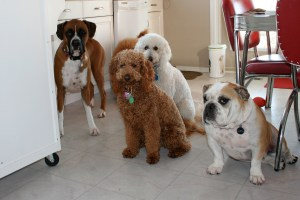 Bulldogs and golden doodles boarding in my home