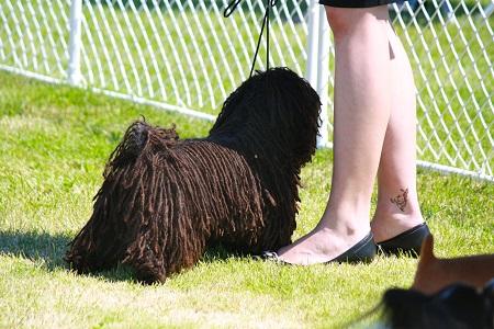 Training a Puli dog