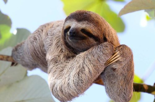 Sloth-resting-on-branch-e1479838632396