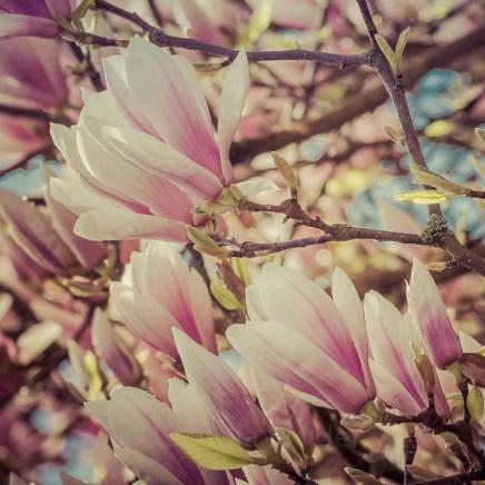 magnolien_1