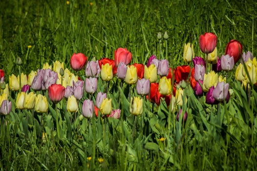 tulpen in der wiese