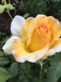 En av Slottsträdgårdens underbart doftande rosor.