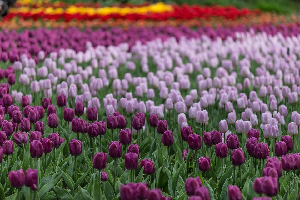 Tulips In The Netherlands - purple tulips in a circle