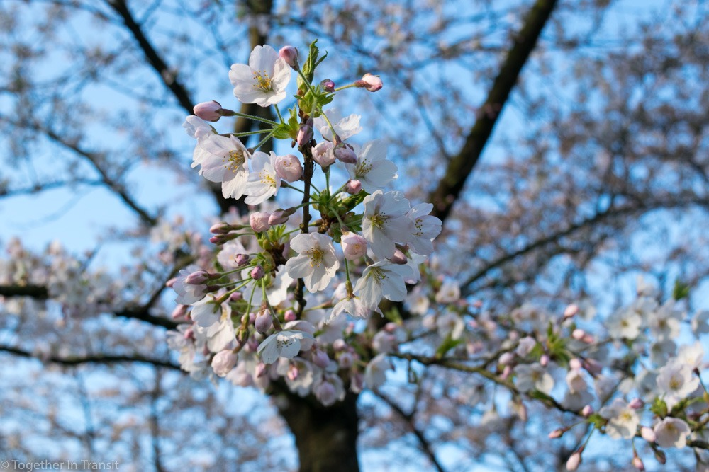 These are the pretty Cherry Blossom Trees at the Kersenbloesempark