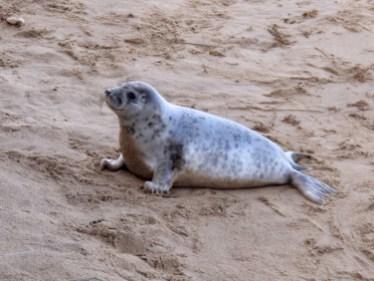 Grey Seal on the Norfolk Coast - Winterton On Sea togetherintransit.nl