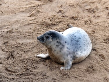 Smily Seal on Norfolk beach - Winterton On Sea togetherintransit.nl
