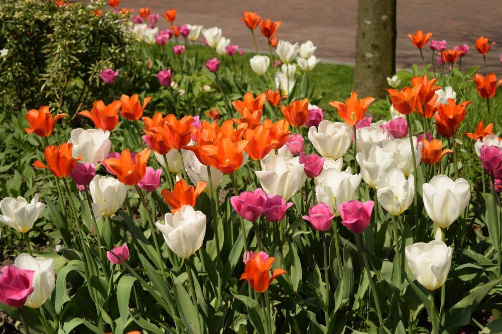 Tulips in Spring in Rotterdam Netherlands