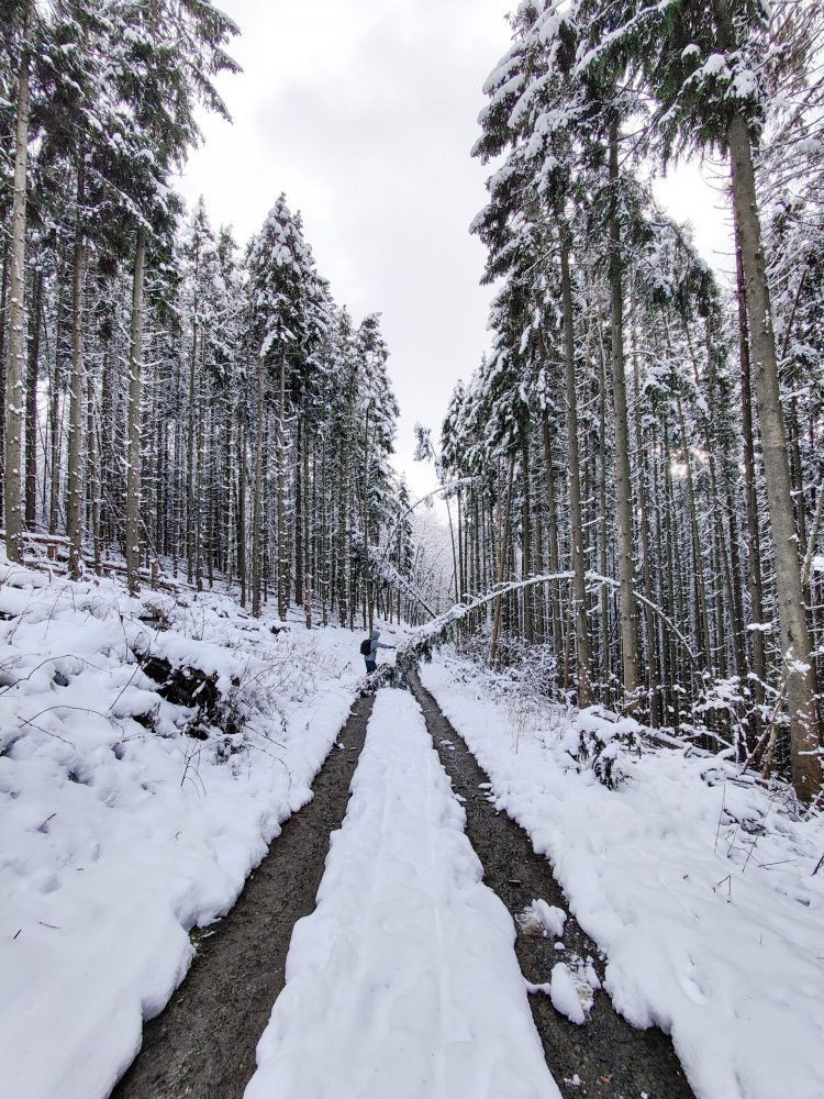 forest snow walk with tall trees