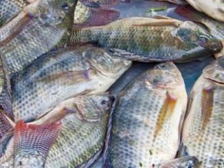 tilapia2 Togo: l'importation et la commercialisation du tilapia désormais interdite