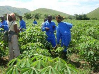 champ manioc e1530790384478 Côte d'Ivoire : plus de 10 milliards de Fcfa pour soutenir la culture du manioc
