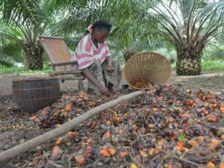 huile de palme Production durable d'huile de palme : les Africains à la traîne