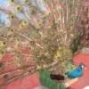 北京大興動物園のいんちき孔雀