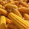 中国語のトウモロコシはお米の類?