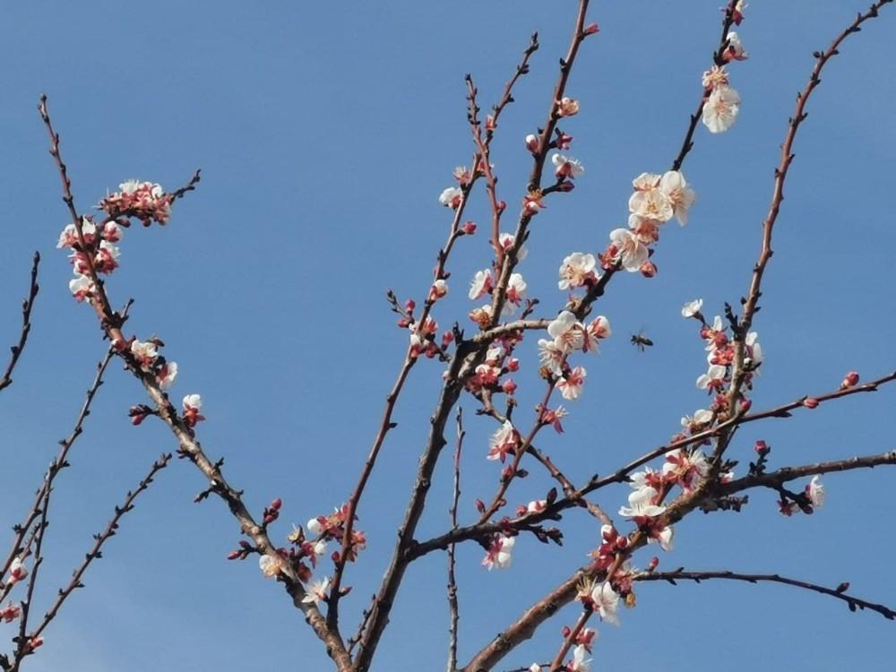 Tokat'ta kış ortasında meyve ağaçları çiçek açtı