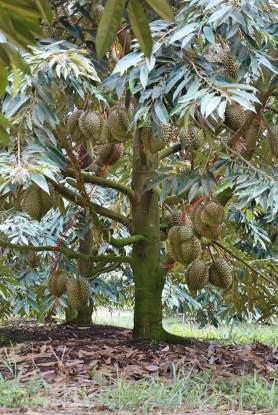durian bhineka bawor