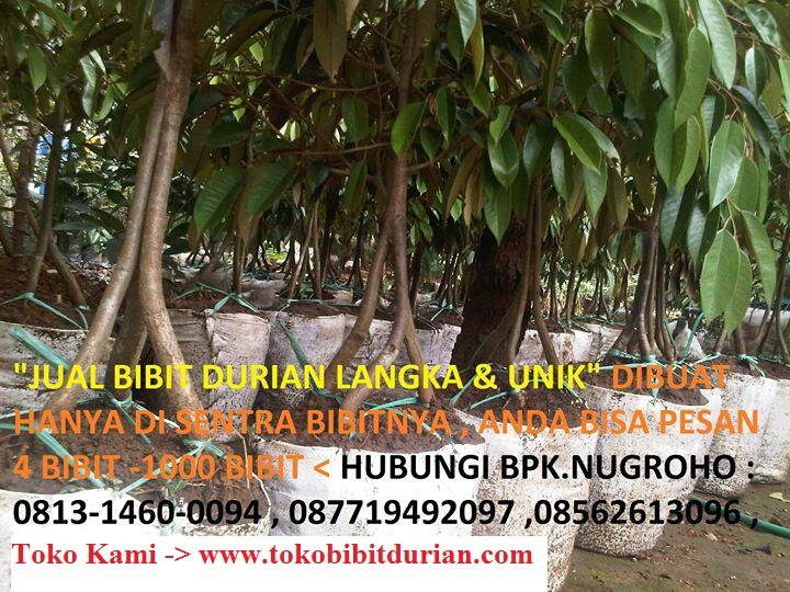 bibit durian
