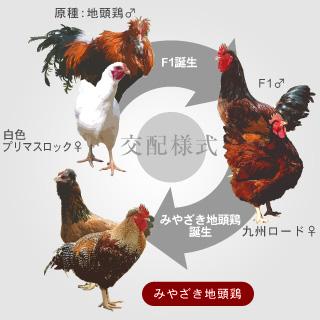 みやざき地頭鶏