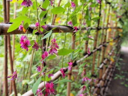 Hagi (Bush Clover) in Mukojima Hyakkaen Garden