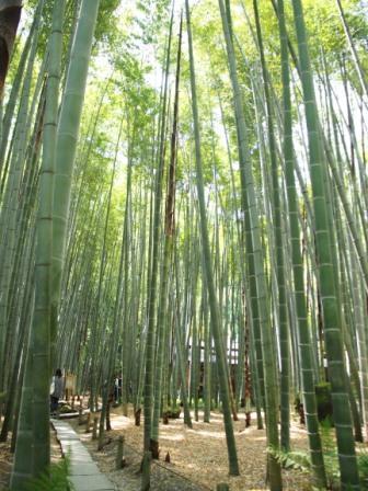 Bamboo Garden of Hokokuji Temple, Kamakura, Japan