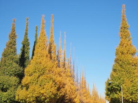 meiji jingu gaien autumn yellow leaves tokyo japan