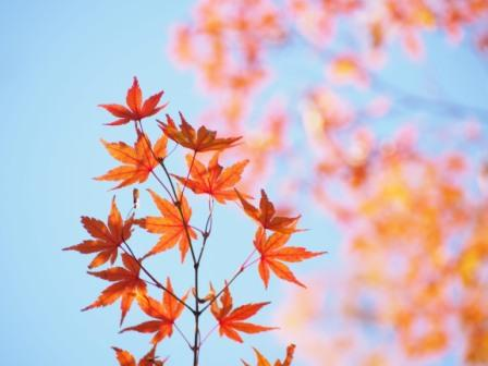 autumn red maple leaves with the blue sky