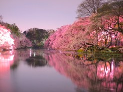 井の頭公園・桜