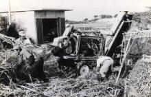 サトウキビの収穫風景です。