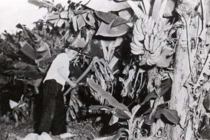 昔はたいていの家の畑にこのような島バナナの木が植わっていました。