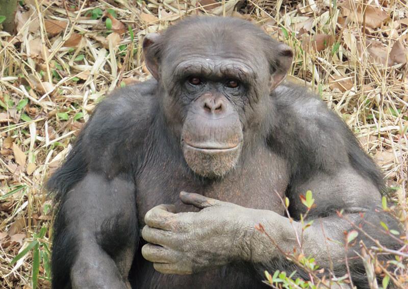 多摩動物公園だより 生き物ってオモシロイ 今月のどうぶつ チンパンジー エコチル首都圏版 東京 横浜 Webマガジン