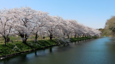 Image result for japanse bloesem sakura