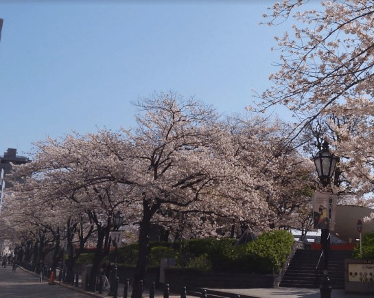 cherry‐tree‐lined path in Asakusa