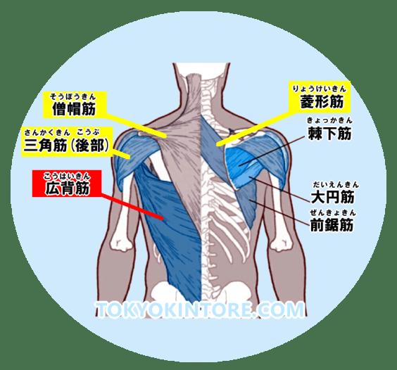 シーテッドロウの筋肉-広背筋・僧帽筋・菱形筋・三角筋後部