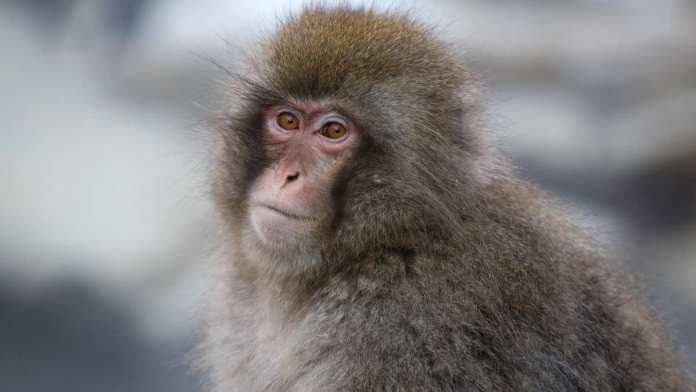 Tokyo Area Ski Resorts, Japanese Monkey